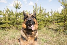 German Shepherd Dog In Spring Day Royalty Free Stock Images