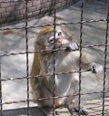 Free Monkey Royalty Free Stock Photo - 711415