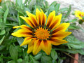 Free Yellow Flower In A Pot 1 Stock Photos - 715313