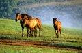Free Horses With Fog Stock Photos - 716283