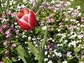 Free Red Tulip Royalty Free Stock Image - 718086