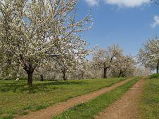Free Cherry Trees Stock Images - 710584