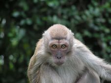 Free Pensive Long Tailed Macaque Stock Photography - 710702
