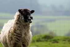 Free Sheep Stock Photography - 710962