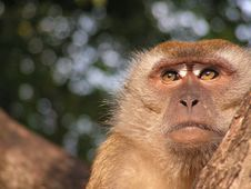 Free Reflective Monkey Royalty Free Stock Photography - 711137