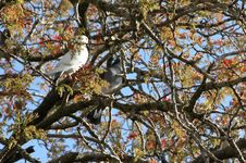 Free Pigeons Resting On The Tree Royalty Free Stock Photography - 711157