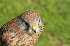 Free Hawk (with Room For Text) Stock Image - 711561