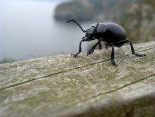 Free Bloody Nosed Beetle Royalty Free Stock Photo - 711685