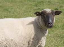 Free Sheep Stock Photography - 713092
