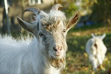 Free Goat Portrait Royalty Free Stock Images - 713099