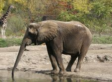 Free Elephant Stock Image - 713161