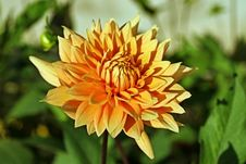 Free Orange Dahlia Royalty Free Stock Images - 713229