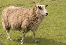 Free Old Sheep Stock Photography - 713452