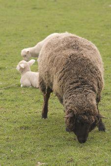 Brown Sheep Stock Photo
