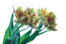 Free Yellow Tulip 2 Stock Image - 714231