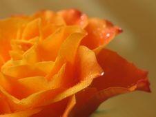 Free Rose Royalty Free Stock Photo - 714945