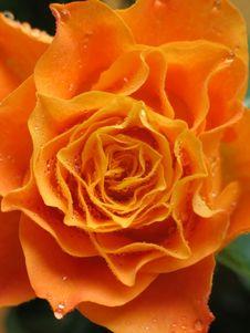 Free Rose Royalty Free Stock Photos - 714948