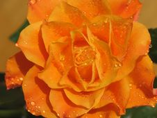 Free Rose Stock Images - 714954