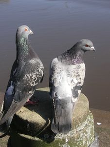 Free Pair Of Pigeons Stock Photo - 714960