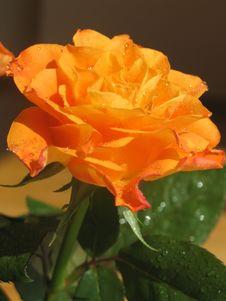 Free Rose Royalty Free Stock Photo - 714965