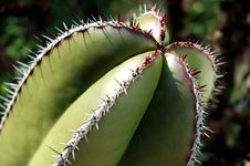 Free Cactus Plant Royalty Free Stock Images - 715159