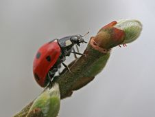 Ladybird Hunting On Branch Stock Image