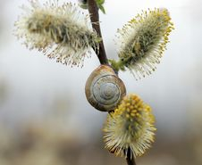 Free Snail On Pussy Willow Branch Stock Photo - 715270