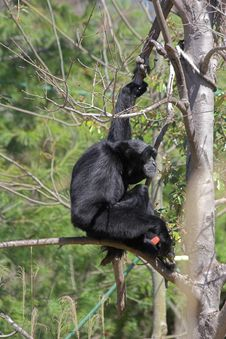 Free Siamang Gibbon Royalty Free Stock Images - 715749