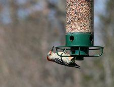 Free Red-Headed Woodpecker Stock Photos - 715833