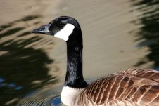 Free Canadian Goose Stock Images - 715864