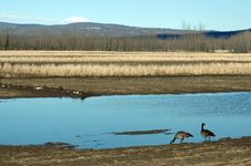 Free Canadian Geese In Field Stock Photography - 716012