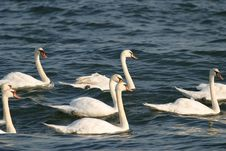 Free Swans Royalty Free Stock Photo - 716155