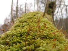 Free Mossy Tree Stock Image - 717391