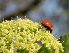 Free Ladybird On Head Of A Weed Stock Image - 717861