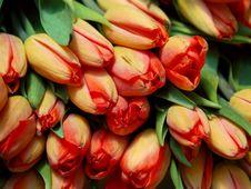 Free Fresh Tulips Stock Photo - 717870