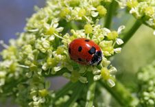 Free Ladybird Covered In Pollen Royalty Free Stock Photography - 717887