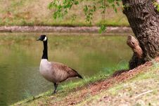 Free Canadian Goose Royalty Free Stock Photo - 718115