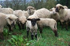Free Sheep Herd Stock Images - 718134
