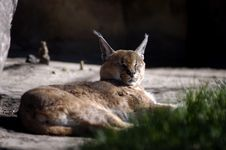 Animal - Caracal Royalty Free Stock Images
