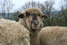 Free Sheep Herd Stock Image - 718321