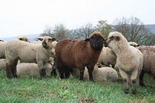 Free Sheep Royalty Free Stock Photography - 718517