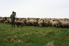 Free Sheep Herd Royalty Free Stock Image - 718816