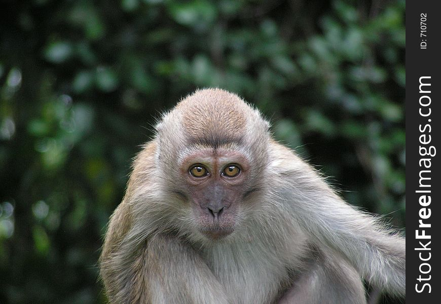 Pensive Long Tailed Macaque