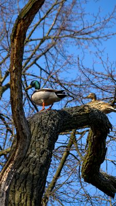 Free Wild Ducks Sitting On The Tree Royalty Free Stock Images - 71000559