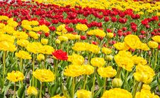 Free Red And Yellow Tulips Growing In The Flowerbed Royalty Free Stock Photos - 71368948