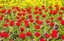 Free Yellow And Red Tulips Royalty Free Stock Photo - 71370955