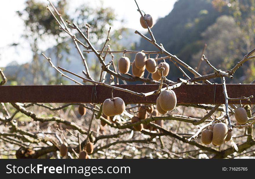 Ripe Kiwi fruit on the branch