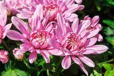 Free Pink Chrysanthemum Closeup Stock Image - 71719851