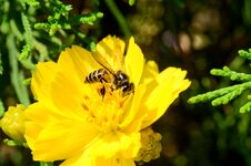 Free Bee On Flower Royalty Free Stock Photography - 71842667