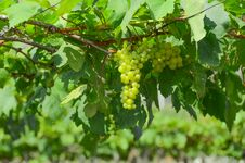 Free Green Grapes Royalty Free Stock Photography - 71850857